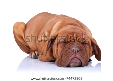 sleeping Puppy of Dogue de Bordeaux (French mastiff). Isolated on white background