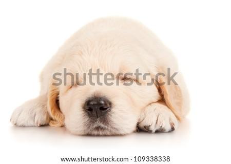 Sleeping puppy retriever