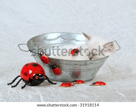 Sleeping Ragdoll kitten inside basin with red ladybirds ladybugs