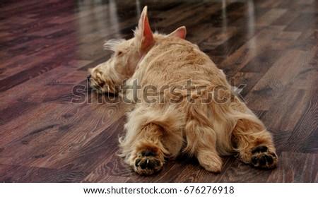 Sleeping  Scottish terrier #676276918