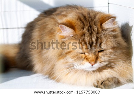 Sleeping Siberian cat. Close-up fluffy cat with closed eyes. Cute cat takes a nap. Long-haired kitty dozing off.  Furry cat with pink nose and long whiskers.