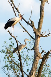 Sleeping stork and heron sitting on a branch at sunset. White stork Ciconia ciconia and Grey Heron Ardea cinerea watching surroundings from tree.Taken with telephoto lens 300mm f4. Dubnica-Slovakia.
