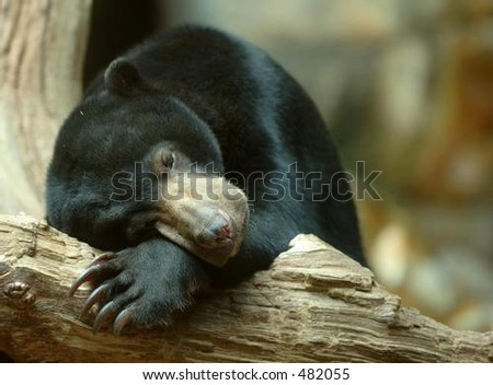Sleeping Sun Bear (Ursus malayanus)