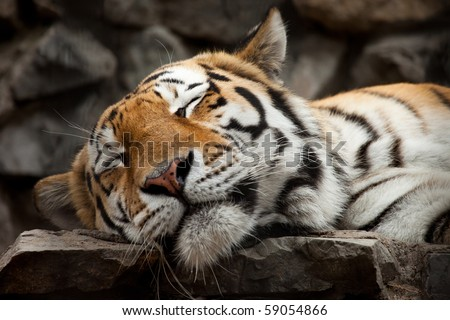 sleeping tiger face portrait
