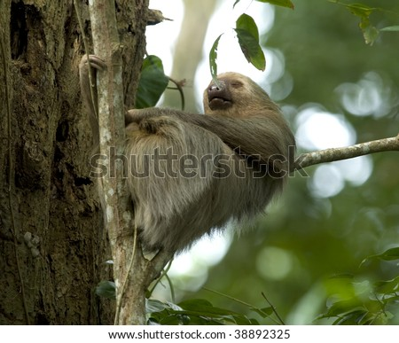 sleeping two toe sloth in tree, cahuita, caribbean side, costa rica, central america