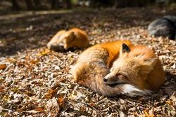 Sleeping Vulpes