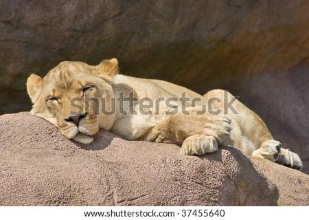Sleeping watchful lioness