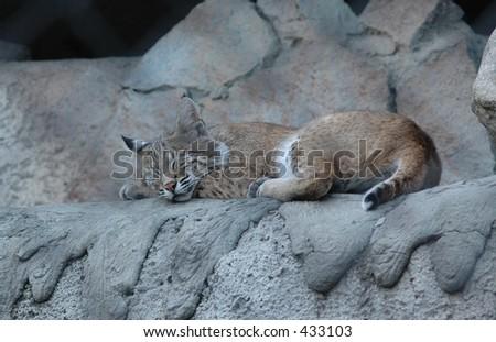 Sleeping wildcat