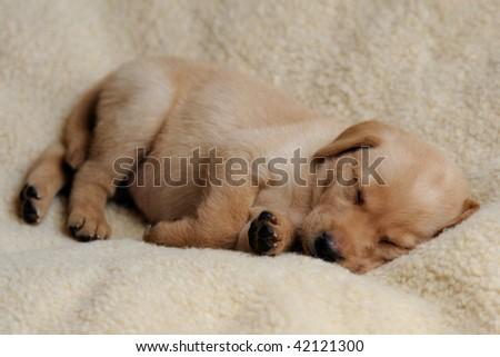 Sleeping Yellow Labrador Puppy