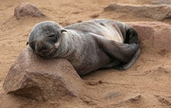 Sleeping young fur seal-Arctocephalus pusillus-at cape cross-skeleton coast-namibia