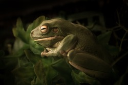 Sleepy Australian Green Tree Frog with dark background