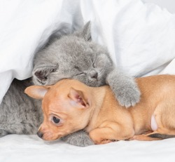Sleepy baby kitten hugs toy terrier puppy under white blanket on a bed at home
