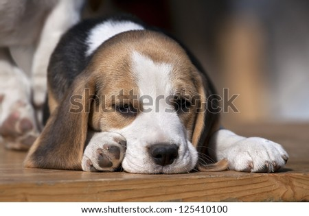 Sleepy Beagle puppy lying on the table