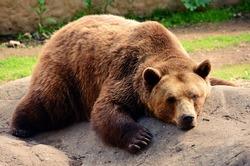Sleepy bear in zoo