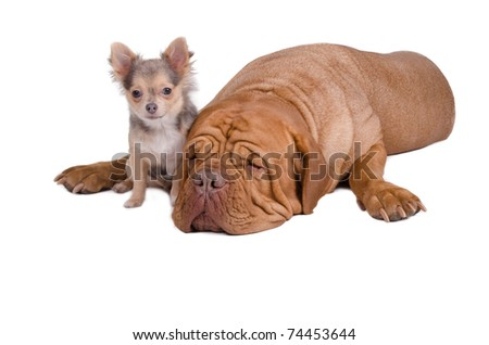 Sleepy big dogue de bordeaux and small chihuahua puppy