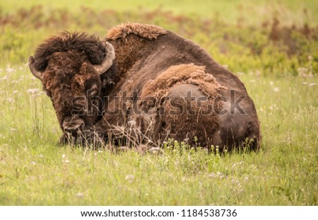 Sleepy bison on the prairie, buffalo