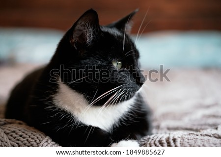 Sleepy black and white fluffy cat with green eyes rests on comfy bed throw Foto stock ©