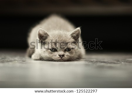 sleepy british kitten over black background