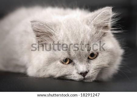 sleepy british kitten over black background