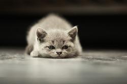 Sleepy british kitten over black background. Sweety british kitten.