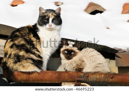sleepy calico mother cat with her kitten resting in a roof-gutter, with snow
