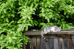 Sleepy cat under the foliage. Lovely gray striped kitten resting on the fence.