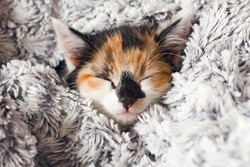 Sleepy Cute Little Kitten wrapped in a Warm Blanket. Calico cat - Tricolor cat (orange-red, white and black). Adoption a tricolor cat can bring a luck and good fortune. Tricolor cat is a lucky charm.