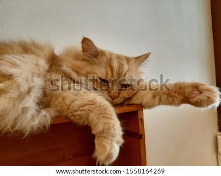 sleepy fluffy cute cat bkk