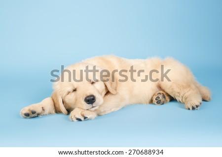 sleepy golden / sleepy puppy golden  / sweet dream / dreaming dog