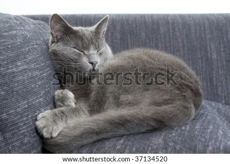sleepy gray cat on a sofa