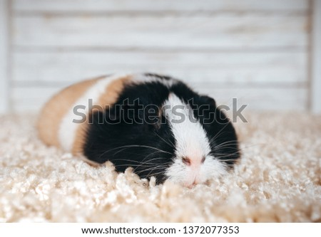 Sleepy guinea pig sleeping in his house. Portrait of a cute pet on a woolen and wooden background. Copy space, poster, advertisement. A fat and hungry pig with a big mustache. Beautiful picture. #1372077353