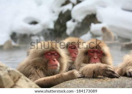 Sleepy Japanese macaque monkeys on the rocks against the snowy, rocky cliffs.