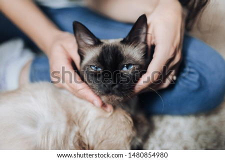 Sleepy muzzle close-up of a cat and human hand. The girl and the owner strokes his beloved blue-eyed Siamese cat lying on the floor. The pleasure and pleasure of a pet. Cat habits.