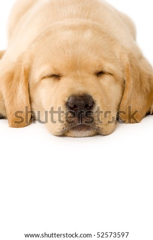 sleepy Puppy Labrador retriever cream on white background