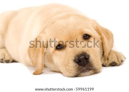 sleepy Puppy Labrador retriever cream on white background