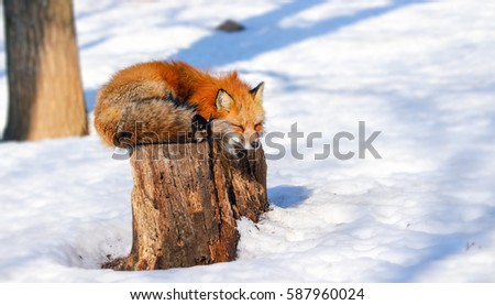 sleepy red fox in winter snow at Zao fox village, Miyagi, Japan #587960024
