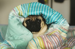 Sleepy sad pug in bed wrapped in blanket