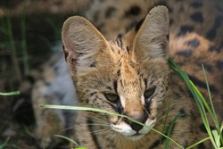 Sleepy Serval cats lazing around in the enclosure