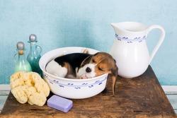 Sleepy seven weeks old little beagle puppy lying in a vintage washtub