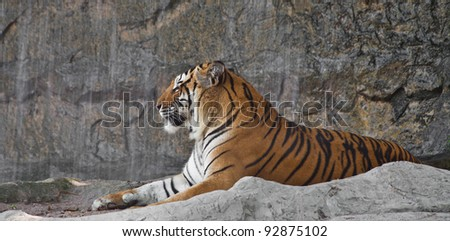 Sleepy Siberian Tiger resting in a zoo