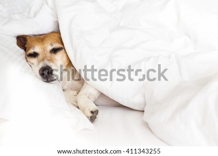 Sleepy sweet dog on white soft comfortable bed, pillow covers and bed sheet. Leisure petfriendly ( dogfriendly ) hotel. Don\'t worry be happy!