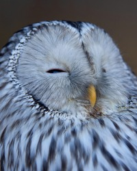 Sleepy Ural owl (Strix uralensis) eyes shut head shot. Gorgeous color stripy white, grey black