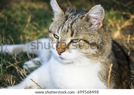 Sleepy white brown cat in the field with sun #699568498