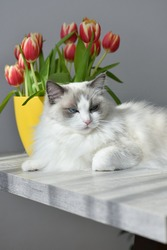 Sleepy white cat (ragdoll purebred) with blue eyes lying on the table with yellow vase of beautiful and fresh red tulips in warm and sunny room with grey walls. Morning of spring.