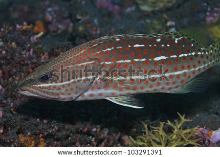 Slender grouper in the coral reef