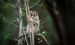 Slender loris is a very rare primate seen at Seegiriya Sri Lanka