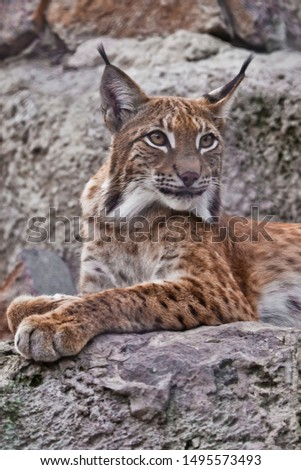 Slender lynx with tassels on the ears and a proud look beautifully lies on the stone. Beautiful big wild cat lynx. #1495573493