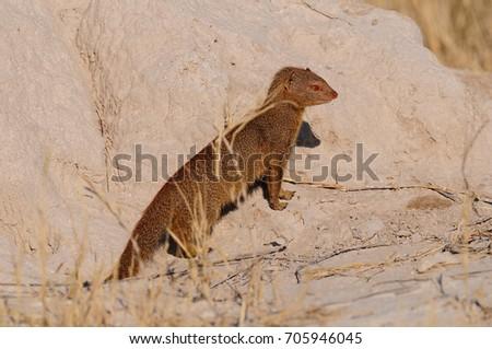 Slender mongoose is looking, etosha nationalpark, namibia, (galerella sanguinea)