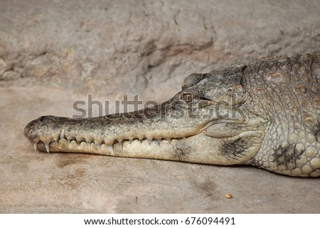 slender snouted crocodile ...