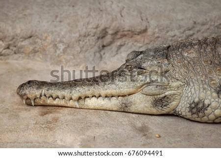 slender snouted crocodile ...